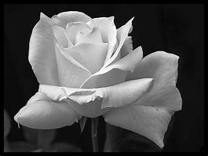 Black And White Rose Wallpaper 19 Background Wallpaper ...