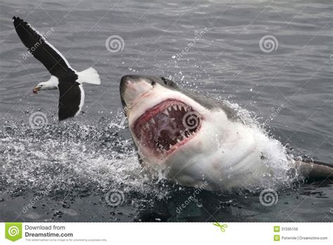 attack great white shark stock photo image  steal
