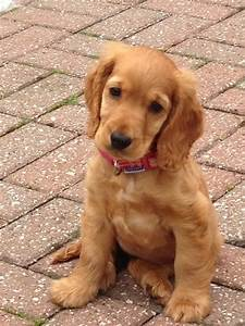 1000+ images about English Cocker Spaniels on Pinterest | English cocker spaniel, Cocker spaniel ...