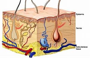 Structure Of Skin Epidermis  The Epidermis  The Outermost