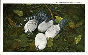 Alligator Eggs Hatching Alligators