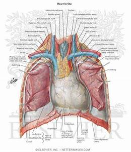 Chest Cavity Anatomy