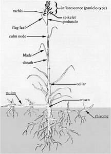 Diagram of Grass. | Agriscience Fall 2012 (Homeschool ...