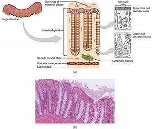 The Small And Large Intestines