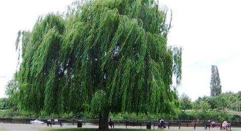 How to grow weeping willow trees the