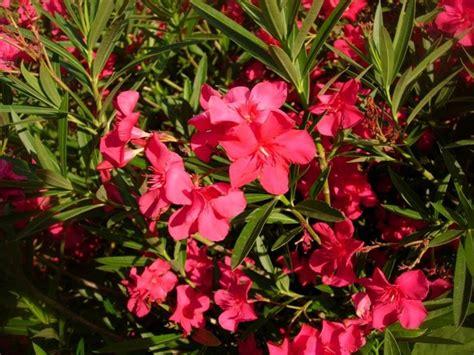 arbusti ornamentali da giardino piante da giardino sempreverdi piante da giardino