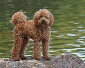 Miniature Labradoodle Dog Info, Temperament, Puppies ...