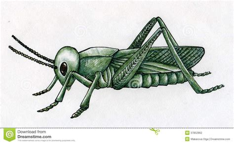 hand drawn grasshopper stock photography image