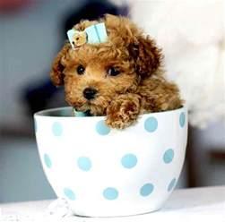 cockapoo designer breed cocker spaniel poodle hybrid dogs info