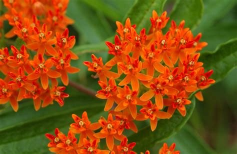 butterfly weed marthas vineyard