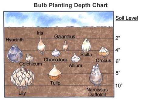 how to plant flower bulbs