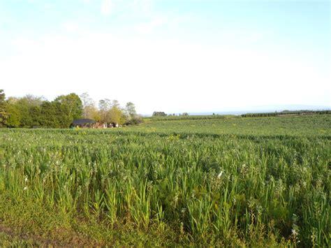 growing cover crops in your home garden portland edible