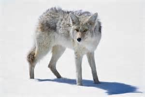 South Dakota State Animal Name