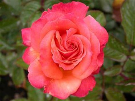 arizona rosa grandiflora arizona regan nursery