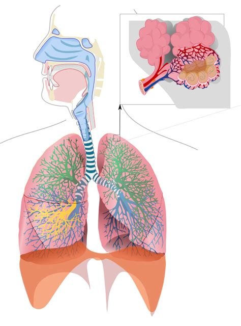 Filerespiratory System Complete No Labelssvg  Wikimedia Commons