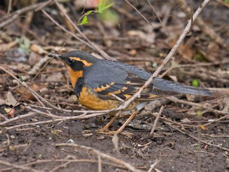 pacific nw specialty varied thrush pacific nw birder