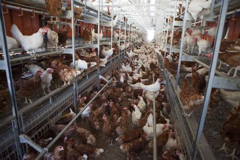 what is a cage free egg walmart just promised to source only cage free eggs here s what that means vox