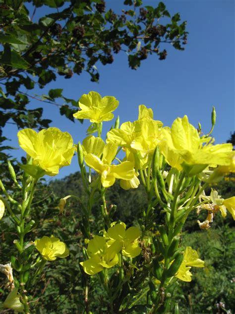 evening primrose plant evening primrose