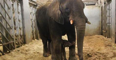pasgeboren olifant ouwehands door moeder gedood binnenland telegraafnl