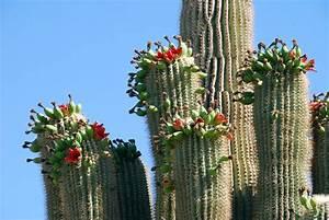 Suburban Naturalist: Giant Saguaros: From Tiny Seeds to ...
