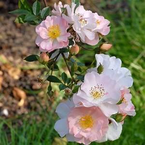 Rosier Grimpant Remontant : 1000 images about rosier grimpant on pinterest rose ~ Melissatoandfro.com Idées de Décoration