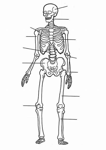 Human Coloring Parts Anatomy Pages Printable Skeleton