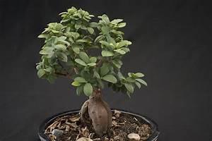 Ficus Bonsai Schneiden : bonsai verschneiden gestalten der richtige verschnitt eines ficus ~ Indierocktalk.com Haus und Dekorationen