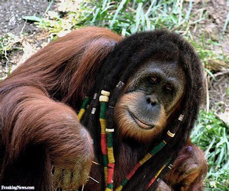 orangutan  dreadlocks pictures freaking news