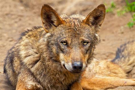 cabeza del del lobo iberico imagenes  fotos