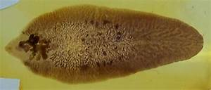 Parasitology 101: Fasciola hepatica