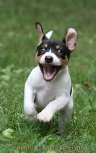 american rat terrier appearance temperament behavior