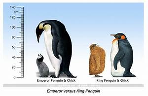 species identification - Is this an Emperor Penguin or a ...