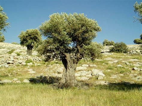 olive tree leaves العدو يكره الزيتون ويفسد مواسمه نون بوست 1179