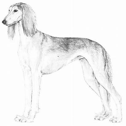 Saluki Dog Breed Svg Dogs Greyhound Akc