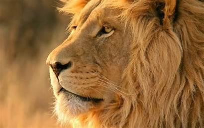 Lion African Safari