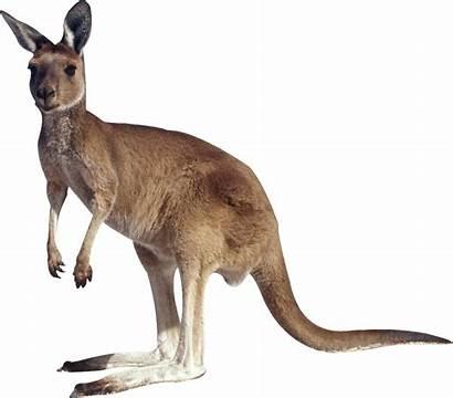 Kangaroo Clipart Transparent Background Feet Clip Animals