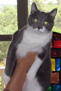 Black and White American Shorthair Cat