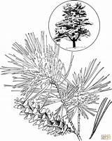 Coloring Pine Eastern Tree Clipart Marten Template Trees Drawing Drawings Line Printable Popular Sketch Skip Coloringhome sketch template