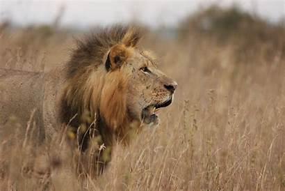 African Lion Lions Savannah Smaller