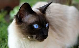 Taille Moyenne Bébé : le siamois caract re ducation sant prix race de chat ~ Nature-et-papiers.com Idées de Décoration