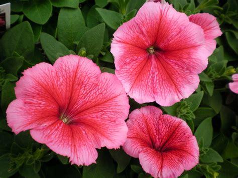 images of petunias madness summer petunias
