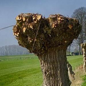 Taille Du Saule Pleureur : les arbres en t tards ou trognes taille de formation ~ Melissatoandfro.com Idées de Décoration