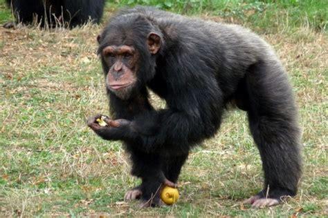 siege social bonobo photo de singe chimpanzé gt chimpanzé gt n 537614 sur