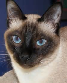 siamese cats for animals zoo park siamese most popular cat breeds pictures