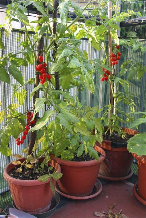 plant de tomate en pot tomate cerise planter et cultiver ooreka