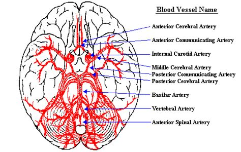 4.which blood vessel will have the high amount of glucose and amino acld after a meal? Neuroscience For Kids - blood supply of the brain
