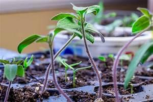 Planter Graine Tomate : ru ~ Dallasstarsshop.com Idées de Décoration