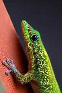 Geckoes on Pinterest