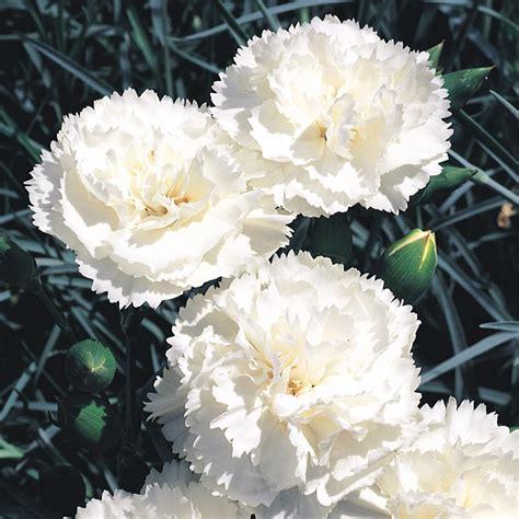 jenis bunga  rasa simpati  arti bunganya toko bunga   surabaya murah