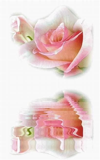 Roses Reflets Rose Gifs Centerblog Rosas Google